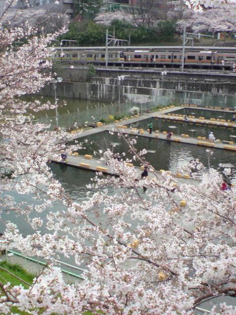 市ヶ谷釣り堀の桜